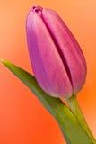 De bloei van de kleur Royalty-vrije Stock Afbeeldingen