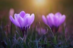De bloei van de krokusbloem in zonsondergang Royalty-vrije Stock Afbeeldingen