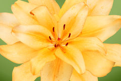 De bloei van de lelie Royalty-vrije Stock Afbeeldingen