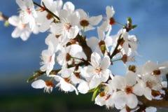 De bloei van de lente Stock Fotografie