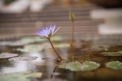 De bloei van de lotusbloembloem Stock Fotografie