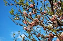 De bloei van de magnolia Royalty-vrije Stock Afbeeldingen