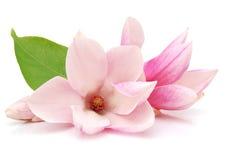 De bloei van de magnolia Stock Foto