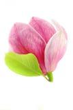 De bloei van de magnolia stock afbeelding