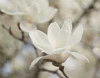 De bloei van de magnoliabloesem Stock Foto's