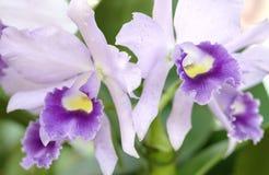 De bloei van de orchideeënbloemen van Dendrobiumaphyllum in de lente Stock Foto