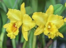 De bloei van de orchideeënbloemen van Dendrobiumaphyllum in de lente Stock Foto's