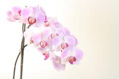 De bloei van de orchidee op wit stock afbeeldingen