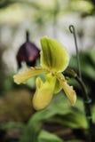 De bloei van de orchideebloem met zachte nadruk Stock Afbeeldingen