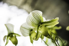 De bloei van de orchideebloem met zachte nadruk Royalty-vrije Stock Foto's