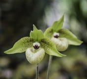 De bloei van de orchideebloem met zachte nadruk Royalty-vrije Stock Foto