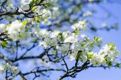 De bloei van de pruimboom in de lente Royalty-vrije Stock Fotografie