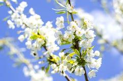 De bloei van de pruimboom in de lente Royalty-vrije Stock Afbeeldingen