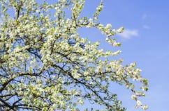 De bloei van de pruimboom in de lente Stock Foto