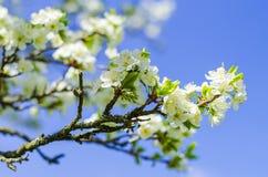 De bloei van de pruimboom in de lente Stock Foto's
