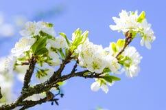 De bloei van de pruimboom in de lente royalty-vrije stock foto's