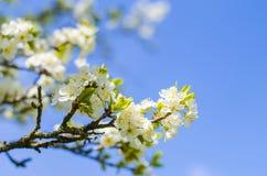 De bloei van de pruimboom in de lente Stock Fotografie