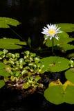 Waterlelie stock foto's