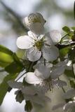 De bloei van de witte appel Royalty-vrije Stock Foto's
