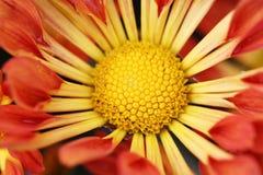 De bloei van de zonnebloem Royalty-vrije Stock Fotografie