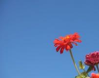 De bloei van het Gerberamadeliefje Stock Fotografie