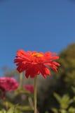 De bloei van het Gerberamadeliefje Stock Afbeeldingen
