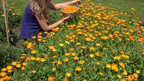 De bloei van het goudsbloemkruid en de oogst kruideninstallaties van de kruidkundigevrouw op gebied 4K stock footage