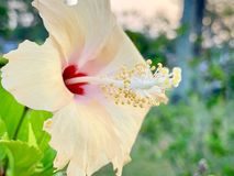 De bloei van hibiscusbloemen in de ochtend stock foto's