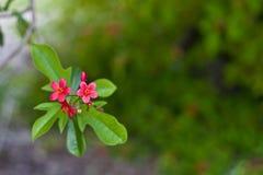 De Bloei van Jatropheae Royalty-vrije Stock Afbeelding