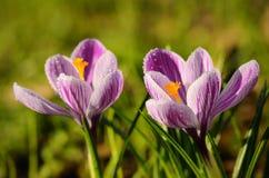 De bloei van krokusbloemen in de gebieds vroege lente Stock Foto's