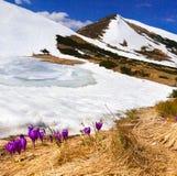 De bloei van krokussen in de lente i Royalty-vrije Stock Fotografie