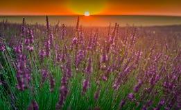 De bloei van lavendelgebieden stock foto