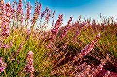 De bloei van lavendelgebieden stock afbeeldingen