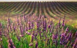 De bloei van lavendelgebieden royalty-vrije stock afbeeldingen