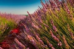 De bloei van lavendelgebieden stock foto's