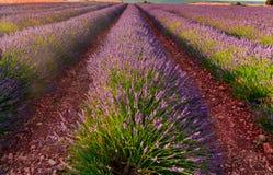 De bloei van lavendelgebieden royalty-vrije stock foto
