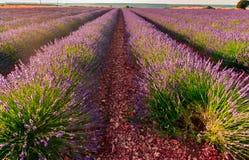 De bloei van lavendelgebieden royalty-vrije stock afbeelding