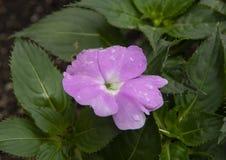 De bloei van lavendelnieuw-guinea Impatiens met waterdruppeltjes met groene bladeren op achtergrond stock afbeeldingen