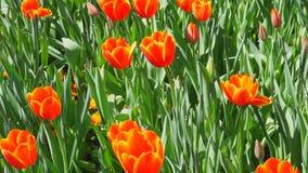 De Bloei van de de lentetijd stock video