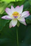 De bloei van Lotus Stock Afbeeldingen