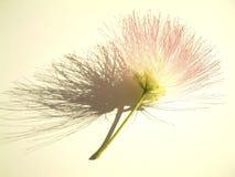 De bloei van mimosa's Stock Afbeeldingen