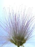 De bloei van mimosa's Royalty-vrije Stock Afbeelding