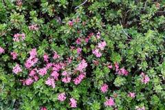 De bloei van natuurlijke alpien nam toe Royalty-vrije Stock Afbeelding