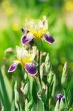De bloei van Orris Stock Afbeelding