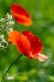 De bloei van papavers op het groene gebied. Royalty-vrije Stock Fotografie