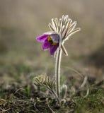 De bloei van de Pasquebloem stock afbeelding