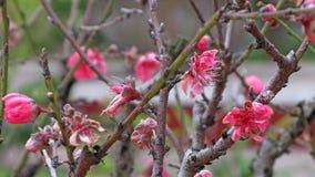 De bloei van de perzikbloesem in de lentezonneschijn stock fotografie