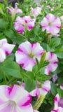 De bloei van petuniabloemen Royalty-vrije Stock Fotografie