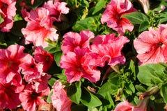 De bloei van petuniabloemen in tuinclose-up Royalty-vrije Stock Foto