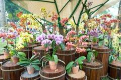 De bloei van Phalaenopsisbloemen in de lente versiert de schoonheid van aard stock foto